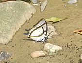 20070420福山賞蝶:雙尾蝶.jpg