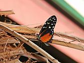 維多利亞的蝴蝶園:10待查蝶4.jpg