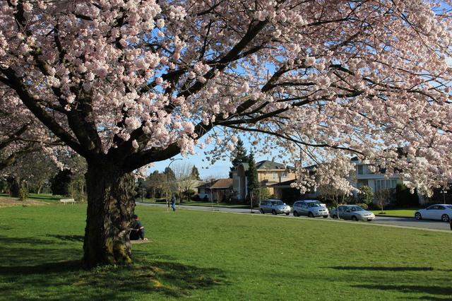 溫哥華QE Park的櫻花8.jpg - 櫻花