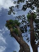 老樹農地:老樹移植的大樟木 已發芽