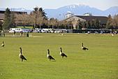 本拿比湖公園(Burnaby Lake Regional Park):08漫步草地上的加拿大雁.JPG