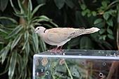 維多利亞的蝴蝶園:11鴿子.JPG