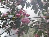 西巒大山:含苞待放的西施花