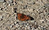 本拿比湖公園(Burnaby Lake Regional Park):17紅蛺蝶?.jpg
