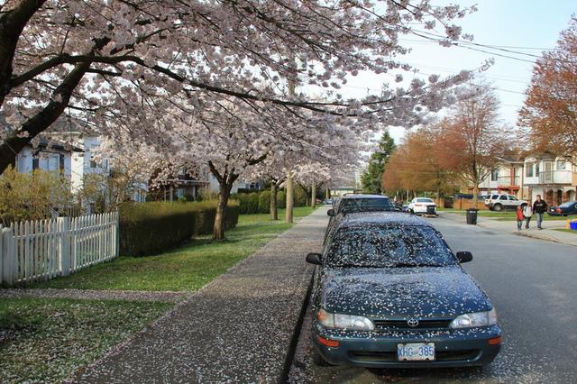 溫哥華社區的櫻花6A.jpg - 櫻花
