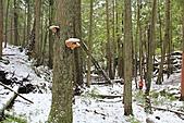 寶雲島迦納山(Mt Gardner of Bowen Island):附生在樹幹上的靈芝