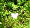 紅淡山的緣點白粉蝶