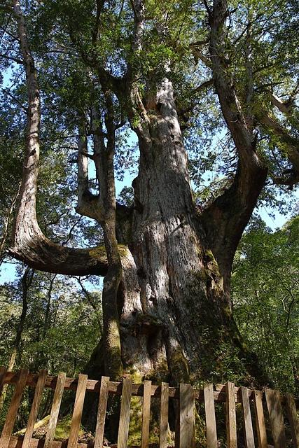 司馬庫斯大老爺巨木.jpg - 司馬庫斯二日遊之三 司立富瀑布