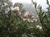 西巒大山:盛開的西施花