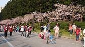 櫻花:中正紀念堂的櫻花2.jpg