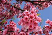 櫻花:陽明山平等里的櫻花5.jpg