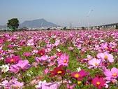 大台北都會公園:大波斯菊與觀音山.jpg