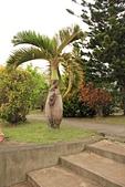 都蘭國小:都蘭國小酒瓶椰子