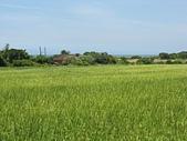 北海岸淡水到石門:13禾實累累的稻田