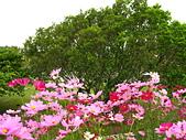 20070222茶山吊橋風吹沙紅柴坑貓鼻頭:滿洲港口茶山吊橋大波斯菊.jpg