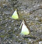 坪頂古圳:聖人瀑布的台灣粉蝶