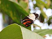 維多利亞的蝴蝶園:17待查蝶6.jpg