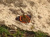 加里山、哈堪尼山O形:加哈O形17紅蛺蝶.jpg