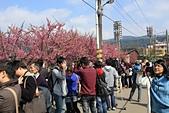 櫻花:陽明山平等里的賞櫻人潮1.jpg