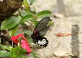 更寮古道土庫岳:訪花的大鳳蝶,舞姿漫妙。