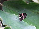 維多利亞的蝴蝶園:18待查蝶7.jpg