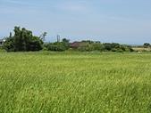 北海岸淡水到石門:14禾實累累的稻田2