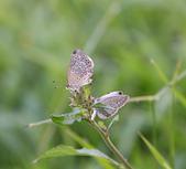 石岡情人木橋:木橋園區的小灰蝶