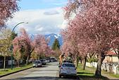 加國風光:社區的櫻花1