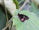 維多利亞的蝴蝶園:19待查蝶8.jpg