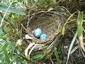 巴棲松縱走:15藍色的鳥蛋.jpg