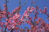 櫻花:陽明山平等里的櫻花3.jpg