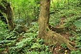 蘭嶼紅頭山(小百岳#97):10板根發達的樹木.jpg