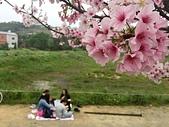 櫻花:淡水三生步道的櫻花.jpg