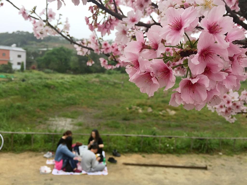 淡水三生步道的櫻花.jpg - 櫻花