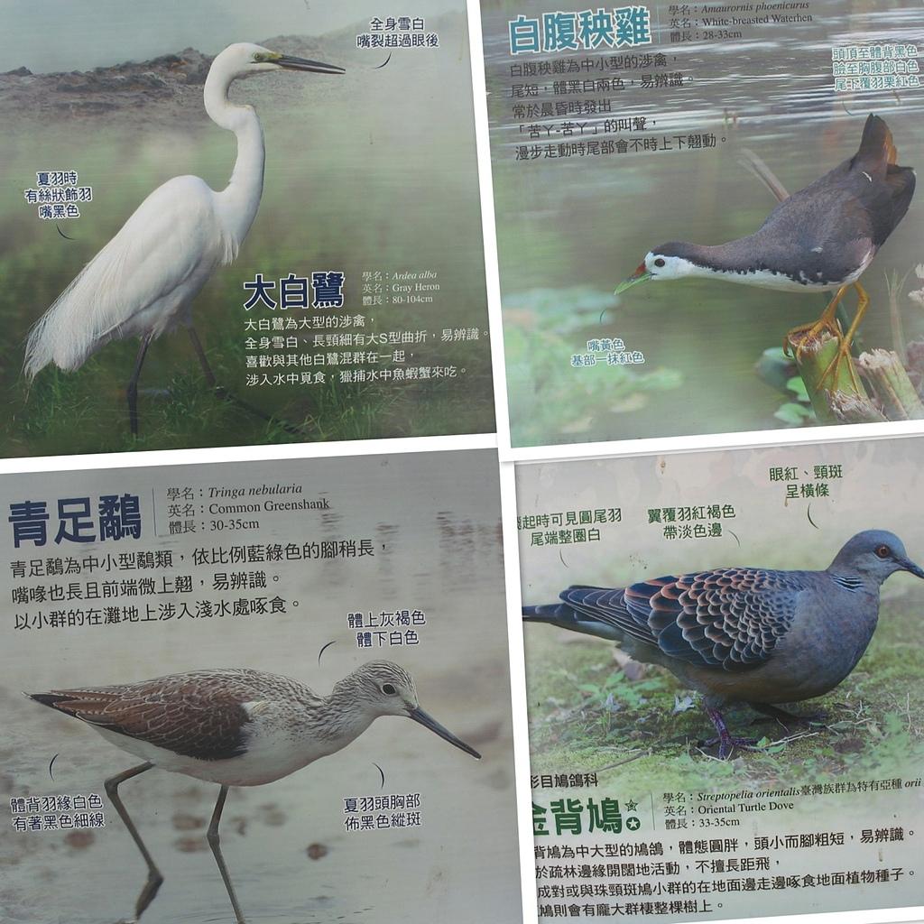 社子島基隆河單車行:水鳥