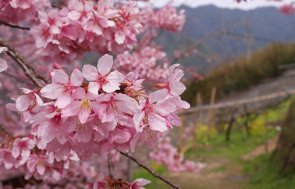 新竹尖石泰崗的櫻花1.jpg - 櫻花