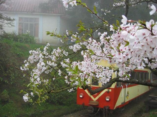 阿里山的櫻花.jpg - 櫻花
