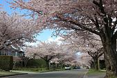 加國風光:社區的櫻花2
