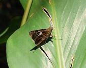 內湖剪刀石、金面山:黑弄蝶