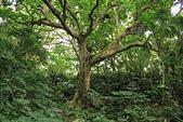 蘭嶼紅頭山(小百岳#97):11枝繁葉茂的大樹.jpg