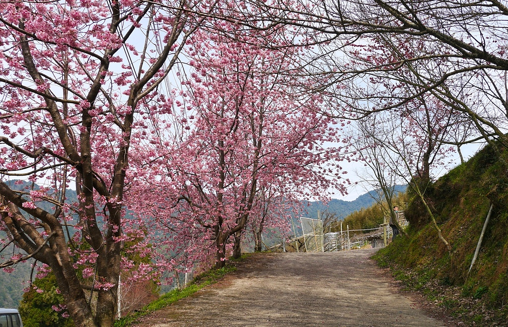 新竹尖石泰崗的櫻花3.jpg - 櫻花