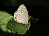 金瓜寮溪魚蕨步道:白波紋小灰蝶