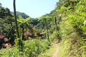金瓜寮溪魚蕨步道:又是筆筒樹