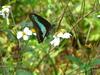 紅淡山的青鳳蝶