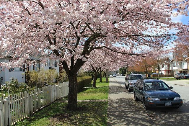 溫哥華社區的櫻花6.jpg - 櫻花