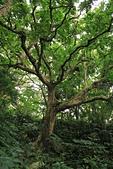 蘭嶼紅頭山(小百岳#97):12枝繁葉茂的大樹2.jpg