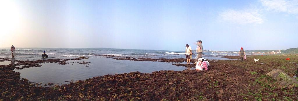 石門海邊採石花菜:石門採石花.jpg