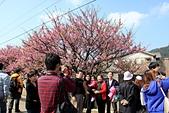 櫻花:陽明山平等里的賞櫻人潮2.jpg