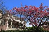 櫻花:陽明山平等里的櫻花.jpg