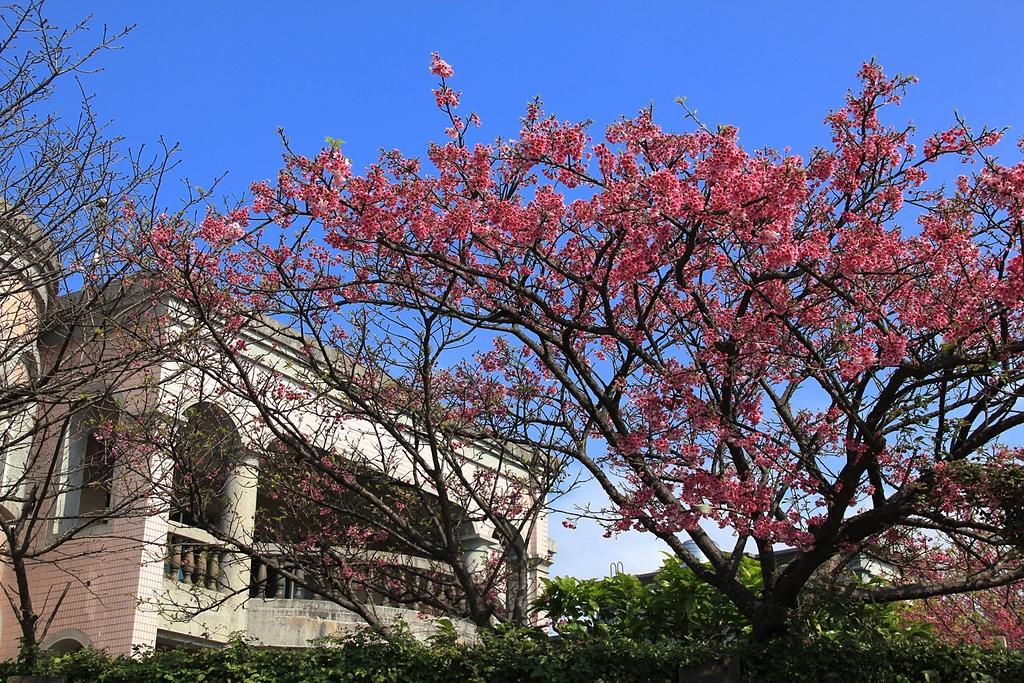 陽明山平等里的櫻花.jpg - 櫻花